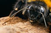 picture of bumble bee  - Detail of bumble bee taken with macro lens
