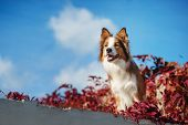 picture of collie  - Red Border Collie dog in purple leaves against the sky - JPG