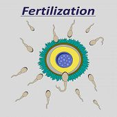 pic of ovary  - llustration of a female egg fertilization sperm - JPG