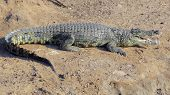 stock photo of crocodiles  - sunny scenery including a crocodile resting on the ground seen in Botswana Africa - JPG