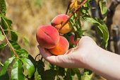 image of peach  - Peach in a hand - JPG