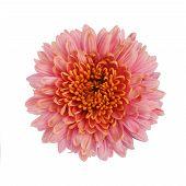 pic of chrysanthemum  - Pink chrysanthemum flower isolated on white background - JPG