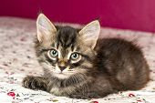 Beautiful Purebred Kitten Lying On The Bed poster