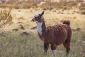 stock photo of andes  - Brown lama chewing on a straw of grass in the Andes mountains Argentina.