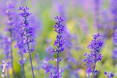 foto of salvia  - Beautiful spring background with Salvia farinacea Benth - JPG