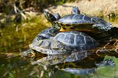 stock photo of carapace  - Water turtles in funny bunch  - JPG
