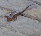 stock photo of lizard skin  - Lizard that is called a skink on some sand set bricks - JPG