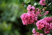 picture of crepe myrtle  - Pink crepe myrtle blooms closeup in morning light against green background - JPG
