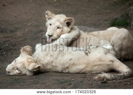 Poster Of Two Newborn White Lion Cubs The Lions Were A Colour Mutation