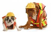 working dogs - english bulldog and dogue de bordeaux dressed like very tire construction workers on