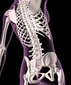3D render of a female medical skeleton with a close up of the spine