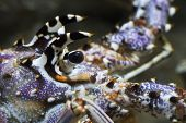 pic of panulirus  - Clode up of the eye of Caribbean Spiny Lobster also known as the Florida Spiny Lobster  - JPG