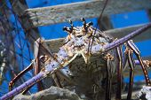 image of panulirus  - Caribbean Spiny Lobster also known as the Florida Spiny Lobster  - JPG