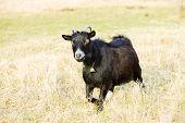 goat, Vermont, USA