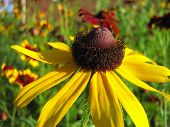 picture of prairie coneflower  - Yellow coneflower blooming in a flower garden - JPG