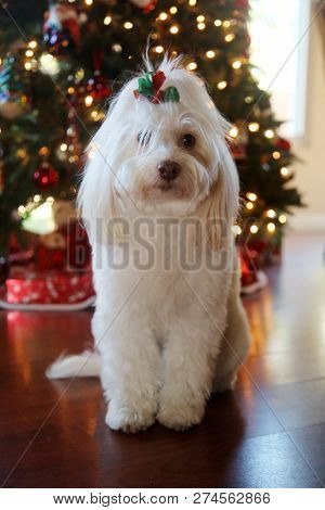 poster of Dog Christmas Portraits. Maltese Dog Christmas. A beautiful female Maltese Dog poses with a red and