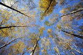 Converging At The Top Of The Trees In Autumn Forest