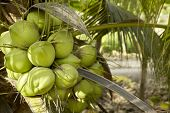 Coconut Tree With Coconut Fruits.coconut Cluster On Coconut Tree In Thailand poster