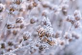 Frozen Plants In Winter. Dry Flowers Covered With The Hoar-frost.winter Background. Frozen Bushes In poster