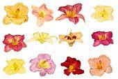 Dayliy Flowers