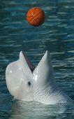 Постер, плакат: Белый кит играть в баскетбол