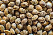 Macro Detail Of Marijuana Seed. Hemp Seeds Background In Macro. Many Cannabis Seeds. Organic Top Vie poster