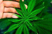 Planting Cannabis. Hemp Flower Indoor Growing. Grow Legal Recreational Marijuana. Marijuana Business poster