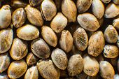Many Cannabis Seeds. Organic Hemp Seed. Macro Detail Of Marijuana Seed. Close Up. Hemp Seeds Backgro poster
