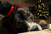 Christmas Dog In Holiday Hat New Years Eve Or Christmas Holiday Greeting Card With Room For Copy Spa poster