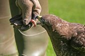 stock photo of small-hawk  - hawk feeding on small food reward morsel - JPG