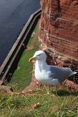 Seagull on Helgoland-Germany
