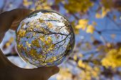 Glass Ball Captures Lines Colors And Shapes In Tree Branches And Leaves.  Image Looking Skyward With poster
