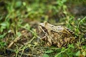 Forest Frog Sneaks Into The Wet Grass. Tree Frog In Grass Closeup. A Grass Frog. poster