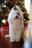 Dog Christmas Portraits. Maltese Dog Christmas. A beautiful female Maltese Dog poses with a red and  poster