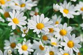 Field Of Camomiles At Sunny Day At Nature. Camomile Daisy Flowers, Field Flowers, Chamomile Flowers, poster