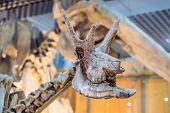 Dinosaur Skull. Dinosaur Skeleton Isolated On White poster