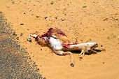 Roadkill Young antelope killed by a car lying next to the street.