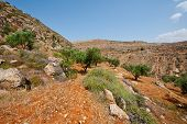 picture of samaria  - Olive Grove on the Slopes of the Mountains of Samaria Israel - JPG