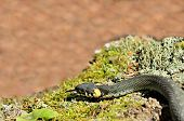 foto of harmless snakes  - A common water snake  - JPG