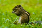 Chipmunk on a background of green grass.