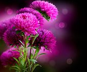 Aster Autumn Flowers Art Design over Black Background