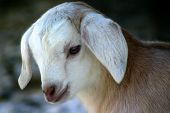picture of baby goat  - week old nubian goat kid - JPG