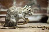 Rodent rat animal holding piece of bread food