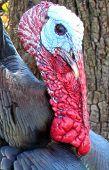 Wild Turkey Close Up