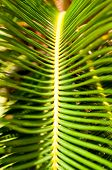 Sago Palm Leaves Close Up