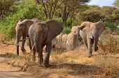 Big Group Of Elephants Walking In Lake Manyara