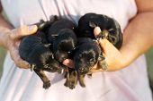 Newborn Domestic Puppies poster
