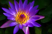 Panama Pacific Water Lily