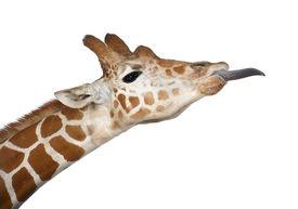picture of disrespect  - Somali Giraffe - JPG