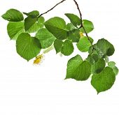 linden branch with flowers isolated on white background